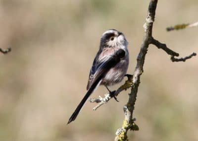 conference-oiseaux-mesange-longue-queue