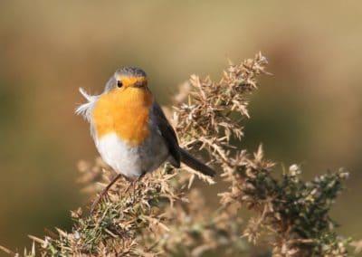 conference-oiseaux-rouge-gorge